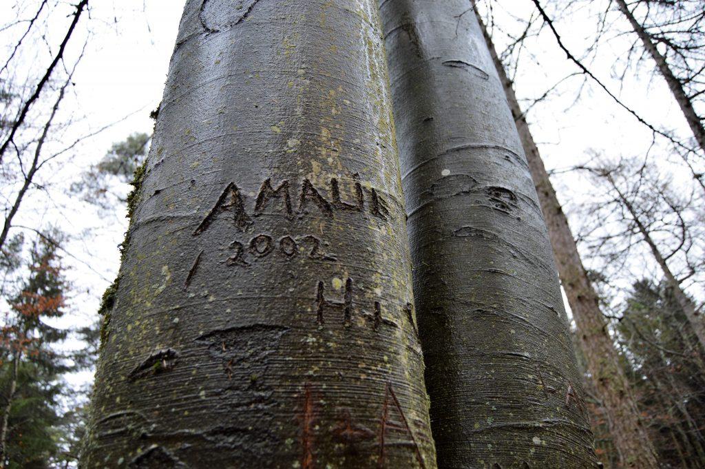Navn risset inn i et bøketre. Naturen i Fredrikstadmarka