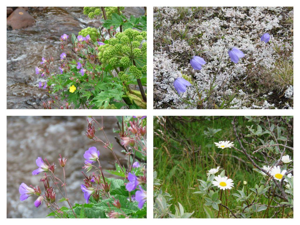 Kollasj av blomster på turen fra Torfinnsbu til Bygdin