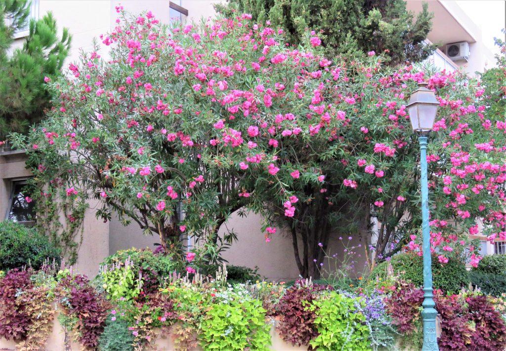 Blomstrende hage i Sainte Maxime