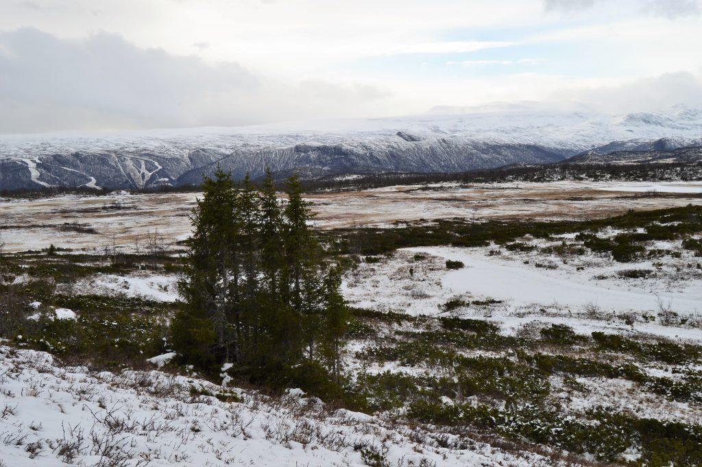 Fottur gjennom fire topper rundt Beitostølen - Garli, trærne hvor vi raster om vinteren