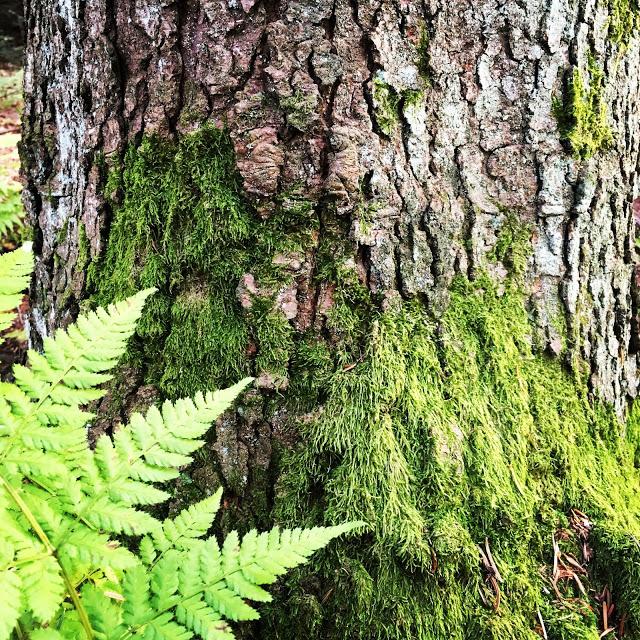 Mose på treet og bregne - fin fargekombinasjon