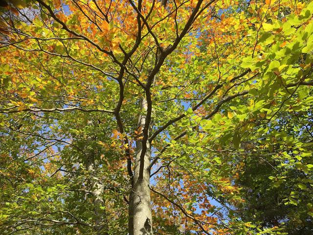 Bøketrær i høstskrud