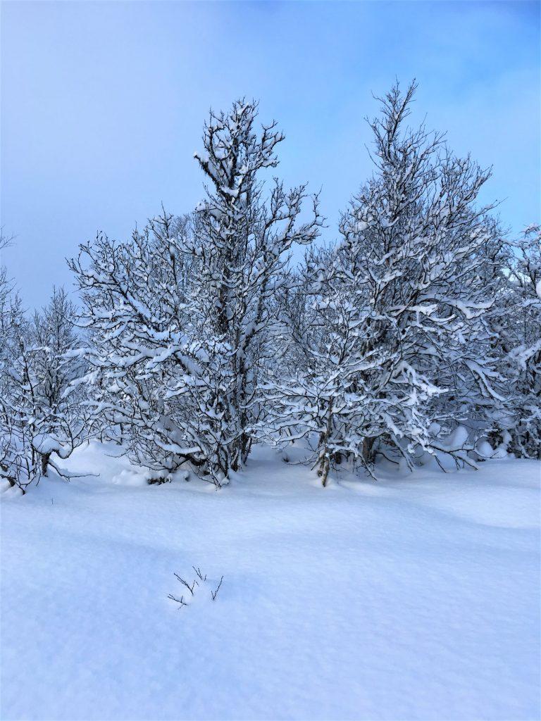 Urørt snø og snøtunge trær