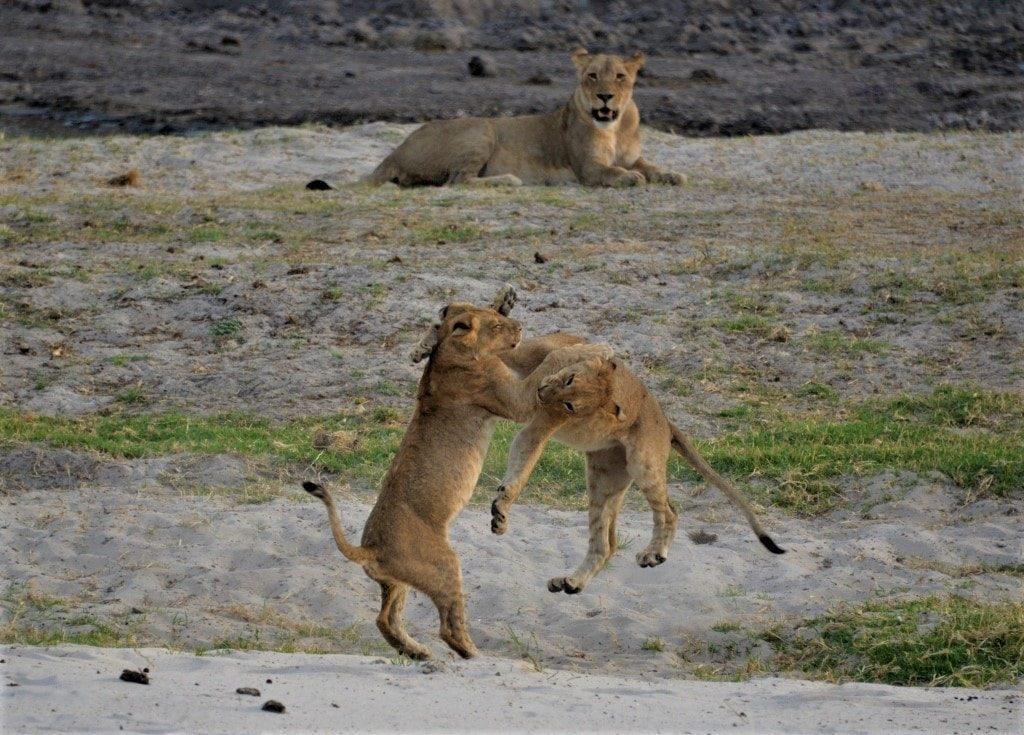 Dyrelis, løver i lek, Victoria Falls