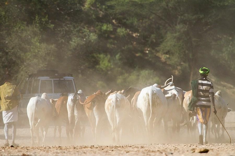 Rystende og tankevekkende besøk hos stammefolk i Etiopia - Oksene er på vei
