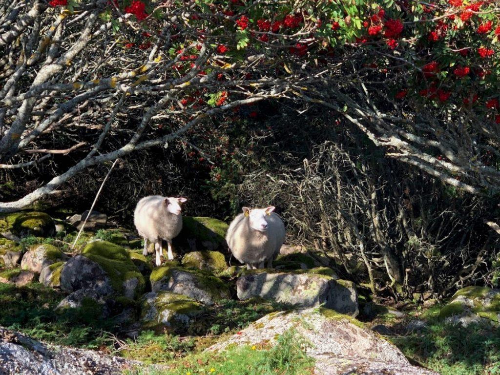 På hjemveien fra Amerika på Hvaler traff disse to søtnosene i fåreklær IMG_3708 (2)