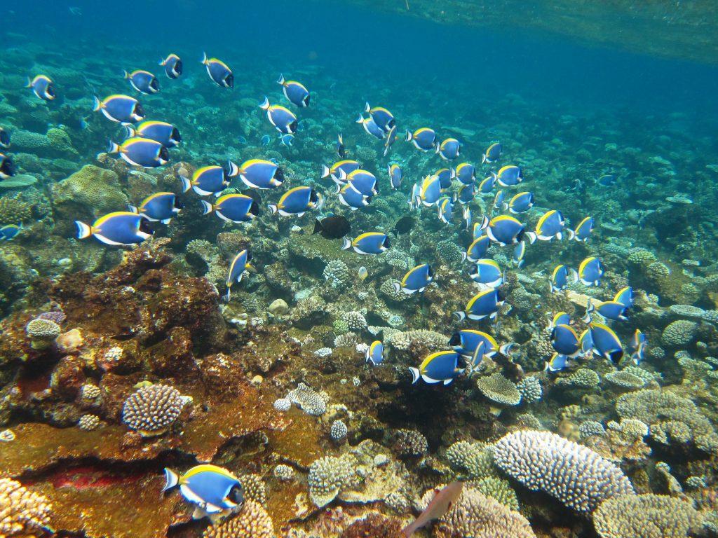 Familieferie på Maldivene med hav i turkis fargeskala - powder-blue-surgeonfish-3