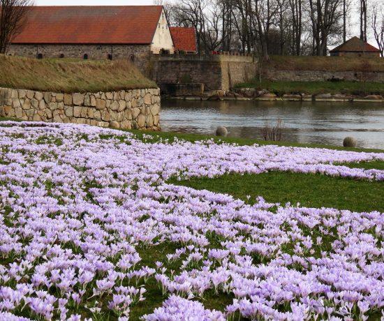 Fredrikstad fargelegger våren med krokus - utsikt fra Isegran mot Gamlebyen