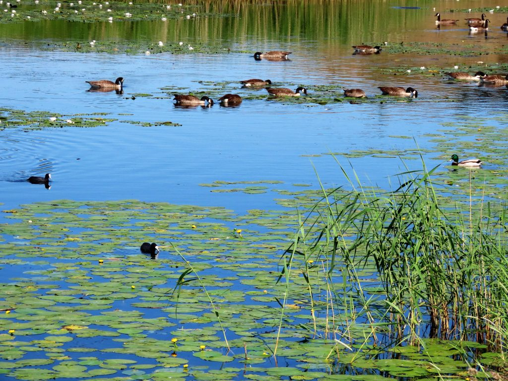 Tips til en sommerdag i sjarmerende Gamlebyen - endene svømmer stille rundt vollene